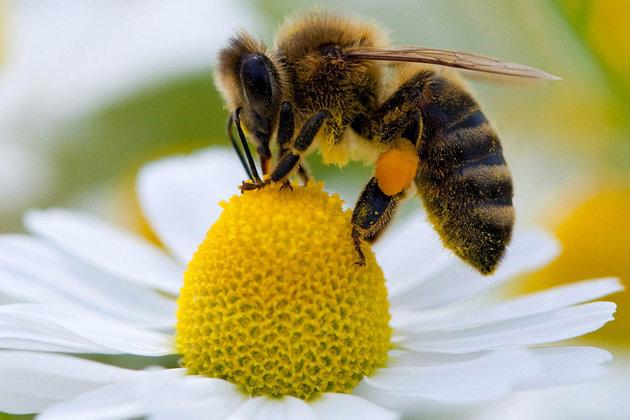 abeille cruiser